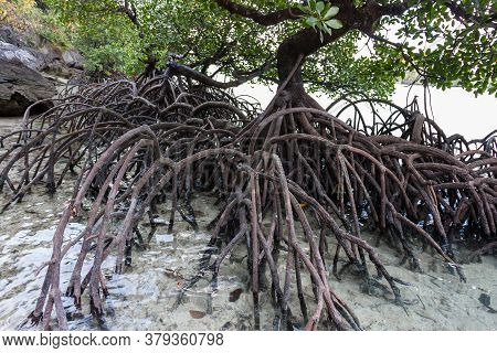 Mangrove Tree Big Roots In Saltwater Ocean Shore. High Quality Photo