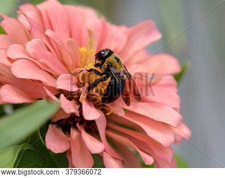 Black And Yellow Bumblebee Pollinating A Light Pink Peach Color Zinnia Flower Bloom In The Summer Wi