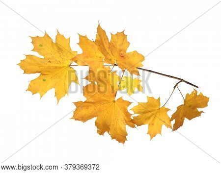 Branch of autumn yellow maple leaves isolated on white background