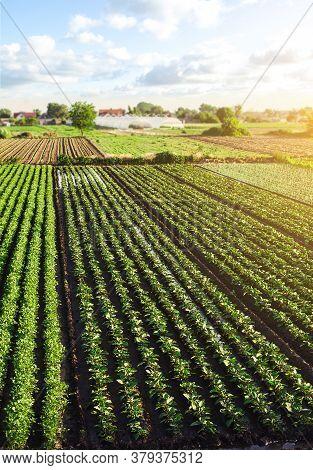 Landscape Of Green Potato Bushes Plantation. Agroindustry And Agribusiness. European Organic Farming