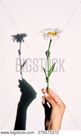 Daisy In Hand With Shadow Background On White Wall. Minimal Summer Concept
