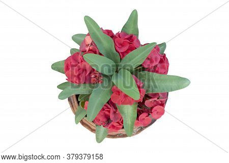 Top View Of Red Euphorbia Milli Or Crown Of Thorns Flower In Pot Isolated On White Background Includ