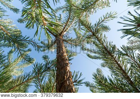 Young Sapling Pine Trees Against A Bright Blue Sly