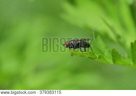 The Wild Flesh Fly Sits On A Blade Of Green Grass And Rubs Its Front Legs