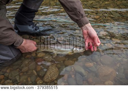 A Fisherman About To Release A Bull Trout, Caught On A Fly, Back Into The River - Catch And Release,