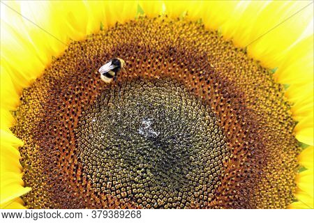 Sunflower Blossom As A Closeup With Bumblebee