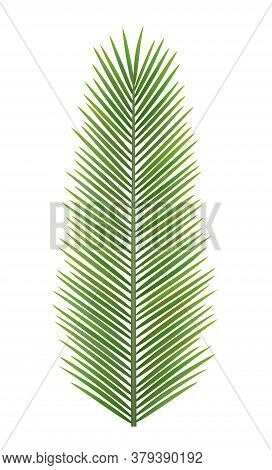 Tropical Palm Leaf Of Frond, Top View