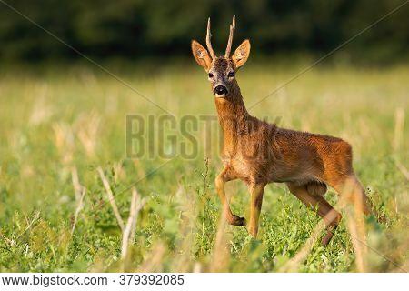 Dominant Roe Deer Buck Standing On Stubble Field In Summer Nature.