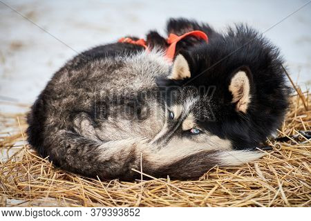 Husky Sled Dog Lies On Straw, Stake Out Line. Siberian Husky Dog Breed Resting After Sled Race Compe