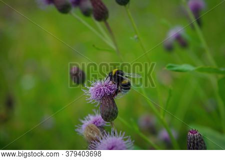 Macro Photo Of A Yellow And Black Striped Bumblebee Pollinating And Collecting Nectar On A Flower.