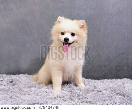 Portrait Of A Sitting White Pomeranian Dog Puppy On A Gray Vintage Background. Comprehensive Care Fo