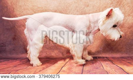 Side View Of A West Highland White Terrier On A Beautiful Vintage Background. The Dog Stands After C