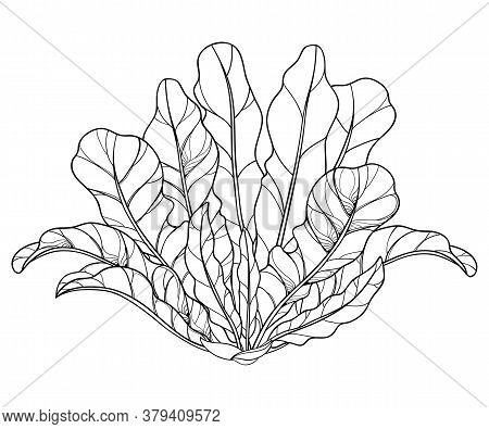 Vector Bush Of Outline Horseradish Plant With Ornate Leaf In Black Isolated On White Background. Spi