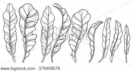Vector Set Of Outline Horseradish Ornate Leaf In Black Isolated On White Background. Spicy And Culin