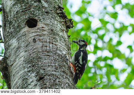 A Woodpecker With A Worm In His Beak On A Tree With A Hole