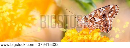 Banner Os Summer Composition Of Painted Lady Butterfly Vanessa Cardui Feeding Nectar From A Marigold