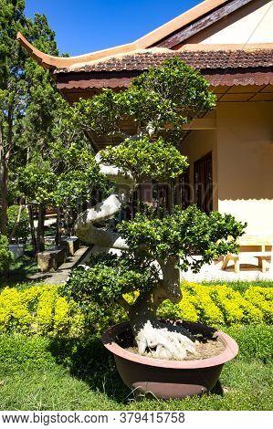 Vietnam, Da Lat, November, 2016 - Perennial Decorative Bonsai Tree In Truc Lam Da Lat Zen Monastery,