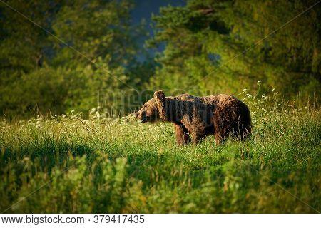 Brown Bear - Ursus Arctos - In The Grass