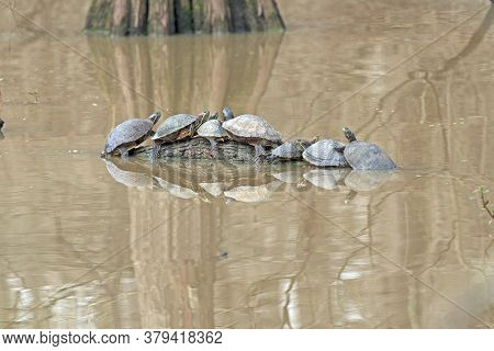 Turtles Crowding Together On A Log In Anahuac National Wildlife Refuge In Texas