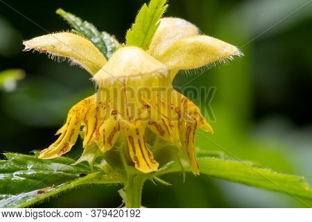Macro Shot Of Yellow Flowers On A Yellow Archangel (lamium Galeobdolon) Plant