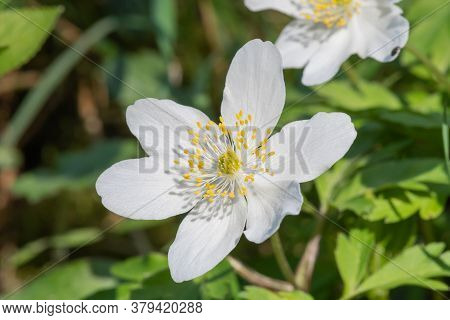 Close Up Of A Wood Anemone (anemone Nemorosa) Flower In Bloom