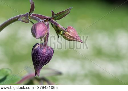 Close Up Of A Flower Bud On A Columbine (aquilega) Plant