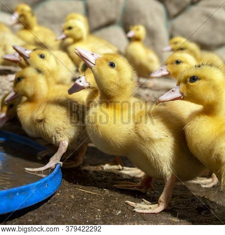 A Group Of Ducklings. Cute Beautiful Yellow Ducklings Drink Water And Walk Outdoors. Young Birds. Ag