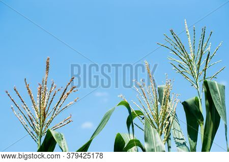 Full Grown Maize Plants, Male Flowers Against The Sky, Mature Plants, Corn Field