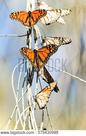 Monarch Butterflies Basking On Tree Branches During Migration. Natural Bridges State Beach, Santa Cr