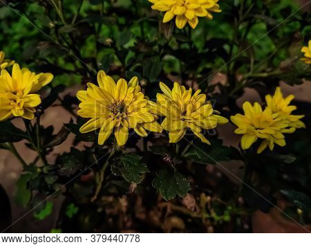 Chrysanthemum Morifolium Is A Species Of Perennial Plant From Family Astereceae.