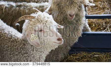 Two White Angora Goats With Curly Coats And Long Horns  Huddle Together In A Pen At An Agricultural
