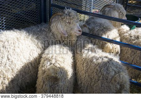 A Group Of White Angora Goats Huddle Together In A Cage At An Agricultural Fair.