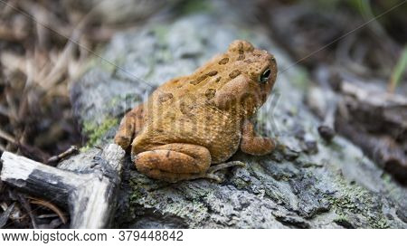 An Orange Toad With Large Eyes And Bumpy Skin With Spots Sits On A Branch In The Forest.