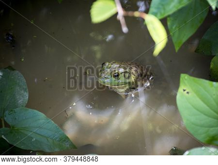 A Green Bullfrog With Large Eyes Emerges From The Water In A Murky Swamp.