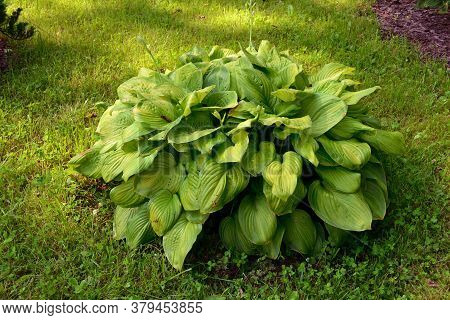 A Large Hosta Bush Grows In A Shady Spot In The Garden. Green Vegetative Background.