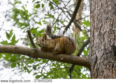 A Beautiful Squirrel Sits On A Pine Branch. The Squirrel Looks Down. The Concept Of These Squirrels