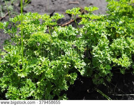 Green Growing Curly Parsley On A Garden Bed On A Sunny Day