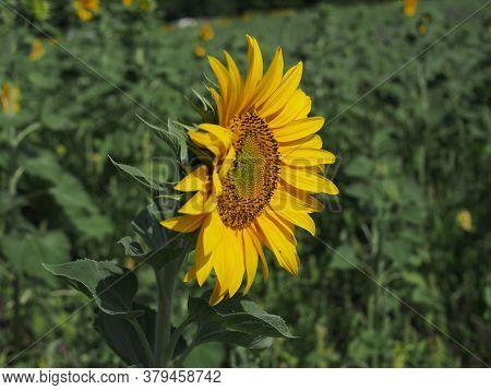 Sunflower Blooming Closeup In Bright Summer Day