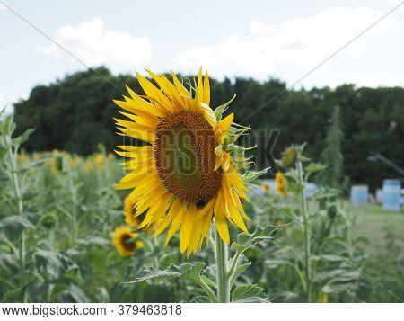 Close-up Of Sun Flower Against A Blue Sky
