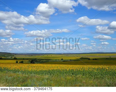Countryside, Yellow Field With Sunflowers On A Hot Summer Day