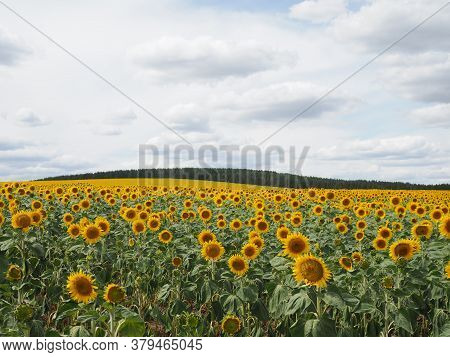 Sunflower Field And Cloudy Sky In Summer