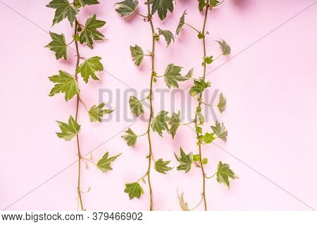 green ivy isolated on a white pink background.