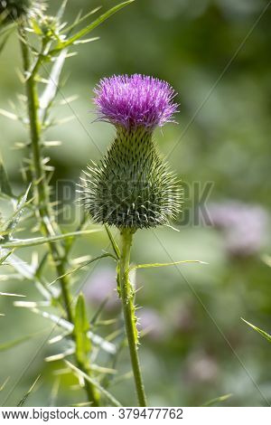 Burdock Thorny Purple Flower, Large Herbaceous Old World Plant Of The Daisy Family