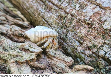 Hermit Crab In Wildlife, Maldives. Nature Conservation Concept.