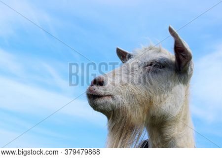 White Goat Looking To The Side Over Blue Sky Background. Goat Standing In Farm Pasture. Shot Of A He
