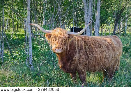 Highland Cow Walking In Forest, Hiding From Hot Summer Sun.