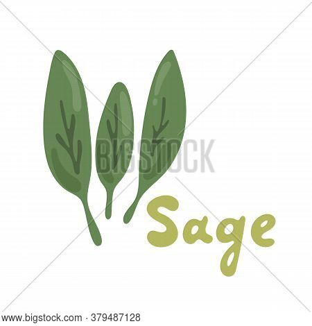Sage Herb, Food Vector Illustration, Logo. Sage Plant Isolated On White Background. Medicinal Plant