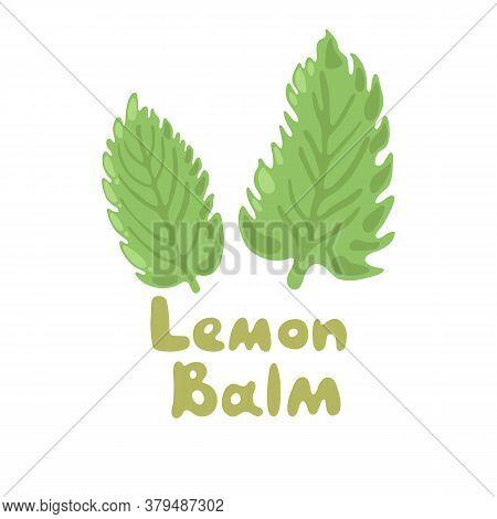 Lemon Balm Or Melissa Officinalis. Green Seasoning, Medicinal Herbs And . Harvest Green Raw Lemon Ba