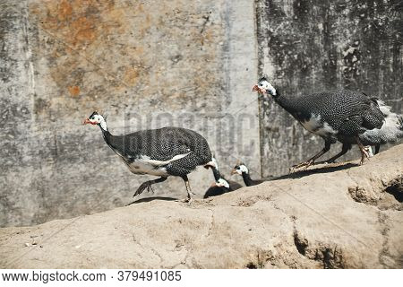 Guinea Fowl Outside The House On A Sunny Day.