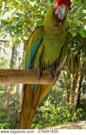 The Great Green Macaw, Ara Ambiguus, Also Known As Buffons Macaw Or The Great Military Macaw